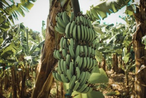 Incorporating Sustainable Integrated Management In World's 'Largest' Banana Export Chain