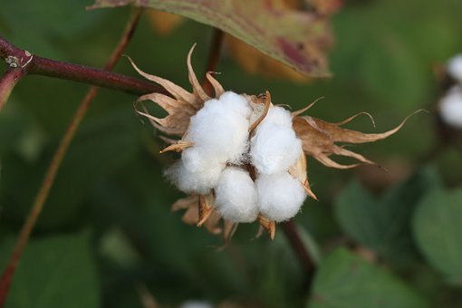 Newly Developed 'Tracing Method' Detects The Source Of Cotton, Opening Vistas For Responsible Supply Chains