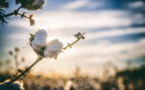 Haiti Is Harvesting Its Cotton Crop After A '30 Years Hiatus' As A Reforestation Agenda